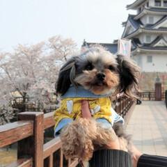 ヨープー/ミックス犬/春のフォト投稿キャンペーン/LIMIAペット同好会/LIMIAおでかけ部/フォロー大歓迎/... お城🏯と桜🌸見に行ったよ