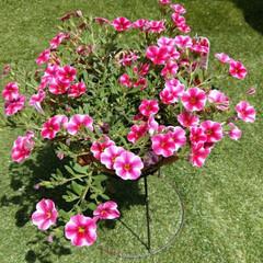 ストロベリースライス/花のある暮らし/ヨープー/ペキックス/犬との暮らし/暮らし/... 昨日のお庭で💕 ❤気持ちいいね~😊💕 💙…(4枚目)