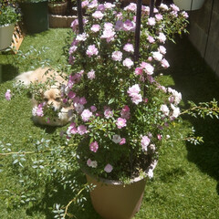 ツルバラ/ミニ薔薇/花のある暮らし/花のある生活/花が好き/花/... 今日のお花🌹 . 去年の売れ残りちゃん🌹…