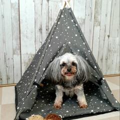 ランチ/ヨープー/ペットのおもちゃ/ペット用テント/暮らし/100均/... ダイソーのペット用テント とハリネズミの…(2枚目)