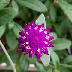 薔薇/千日紅/千日紅の花/花のある生活/花のある暮らし/ガーデニング/... 千日紅の小さなお花💕  苞の間から可愛く…