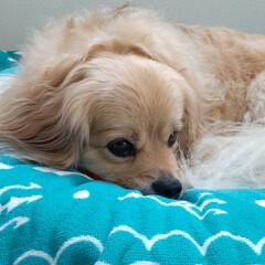 犬との生活/犬との暮らし/リミアペット同好会/ミックス犬/ペキックス/暮らし 可愛くお昼寝~💕 でも… 顎の下にはお気…