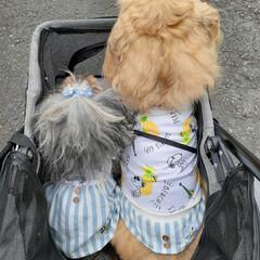 ハンドメイド犬服/ハンドメイド/犬のいる生活/犬のいる暮らし/ミックス犬/ヨープー/... 今日はいつものお散歩と違うぞ~ って察知…(2枚目)