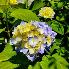 花のある生活/花のある暮らし/紫陽花/エンドレスサマー/カシワバアジサイ/暮らし/... モコモコになってきました😊 可愛い~💗綺…(4枚目)