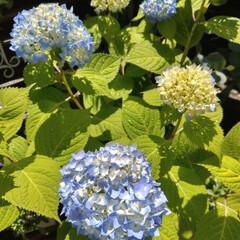 紫陽花/花のある暮らし/花が好き/花/令和の一枚/フォロー大歓迎/... 今朝の紫陽花💙💜 . 雨と強風に耐えて元…