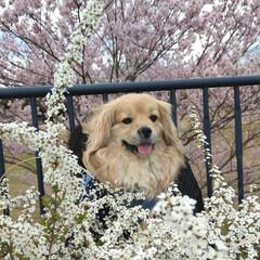 ペキックス/LIMIAペット同好会/フォロー大歓迎/ペット/ペット仲間募集/犬/... お花見散歩🌸