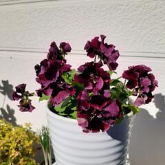 ガーデニング/花のある生活/花のある暮らし/花/絵になるスミレ 絵になるスミレ ヴィーノ  シックな色の…
