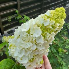 花のある生活/花のある暮らし/紫陽花/エンドレスサマー/カシワバアジサイ/暮らし/... モコモコになってきました😊 可愛い~💗綺…