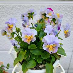 ガーデニング/夢見るパンジー/パンジー/花のある生活/花のある暮らし/花 夢見るパンジー フワフワに咲いてきました…