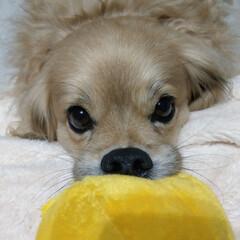 犬/ミックス犬/ペキックス/平成最後の一枚/フォロー大歓迎/LIMIAペット同好会/... 遊んで~って持って来るのに離さない🤣
