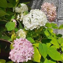 紫陽花/花のある生活/花のある暮らし/ピンクアナベル/アナベル/暮らし アナベルとピンクアナベル  梅雨入り直後…