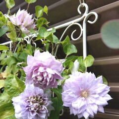 クレマチスルリオコシ/クレマチス/花/令和の一枚/フォロー大歓迎/LIMIAファンクラブ/... . クレマチス ルリオコシが綺麗に咲いて…