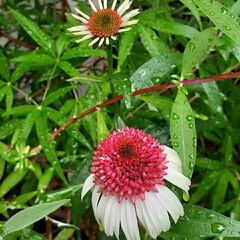 花のある生活/花のある暮らし/ストロベリーキャップ/エキナセア/暮らし エキナセア🍓 ストロベリーキャップ  可…