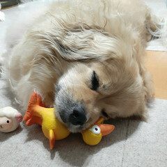 ミックス犬/ペキックス/癒し/犬との暮らし/LIMIAペット同好会/わんこ同好会 静かになったと思ったら寝てた~🤣 遊び疲…