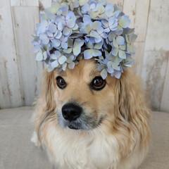犬との暮らし/ヨープー/ペキックス/犬/アフロ犬/紫陽花アフロ/... カットした紫陽花の 紫陽花アフロで アフ…