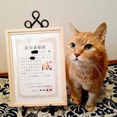 保護猫/18歳猫/茶トラ/木製アートフレーム/100均/セリア/... 🌟長寿表彰🌟  しゅらを長寿猫として表彰…(1枚目)