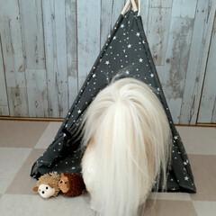 ランチ/ヨープー/ペットのおもちゃ/ペット用テント/暮らし/100均/... ダイソーのペット用テント とハリネズミの…(3枚目)