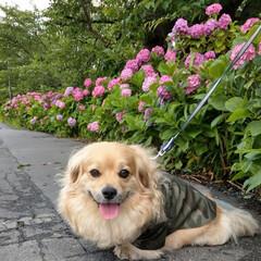 ヨープー/ペキックス/犬好きな人と繋がりたい/犬/令和元年フォト投稿キャンペーン/令和の一枚/... 1.2㎞に約3,800本の紫陽花💕 途中…