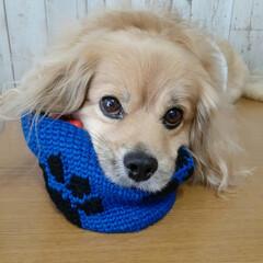 犬との生活/犬との暮らし/ペキックス/かぎ針編み/ダイソー/ハンドメイド 僕のだよ~🎶 だってオモチャ🐔入ってるの…