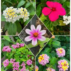 花のある生活/花のある暮らし/ガーデニング/花/ランタナ/ビンカ/... 玄関前のお花💐  なんとか元気になって頑…