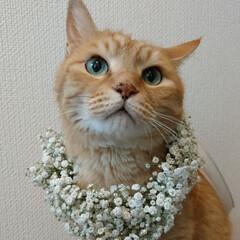 花のある暮らし/カスミ草/猫との暮らし/茶トラ/猫派/令和の一枚/... 約17年前から猫派でもあります😺💕 しゅ…