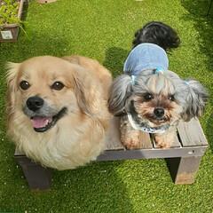 笑顔/犬との生活/犬との暮らし/ヨープー/ペキックス ニコニコ~💕  インスタの🐶友さんから着…(5枚目)
