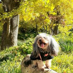 銀杏/ヨープー/ペキックス/ミックス犬/犬との生活/犬との暮らし 近くの銀杏寺にお散歩🐾  お天気も良くて…