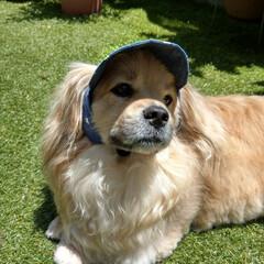 犬の帽子/ヨープー/ペキックス/犬との暮らし/雨季ウキフォト投稿キャンペーン/令和の一枚/... 犬の帽子🧢 去年から作ろうと思ってた帽子…