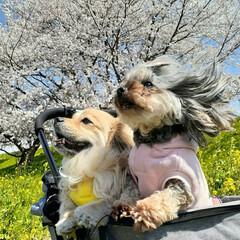 ヨープー/ペキックス/ミックス犬/犬との生活/犬との暮らし 2020ベストショット🌸 やっぱりこの1…