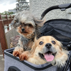 ヨープー/ペキックス/犬好きな人と繋がりたい/犬/令和元年フォト投稿キャンペーン/令和の一枚/... . お城まで紫陽花を見にお散歩🐾 まずお…
