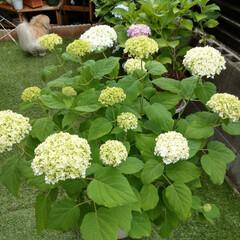 花好きな人と繋がりたい/花が好き/アナベル/紫陽花/花/令和元年フォト投稿キャンペーン/... . グリーンアナベルから 優しい白になっ…
