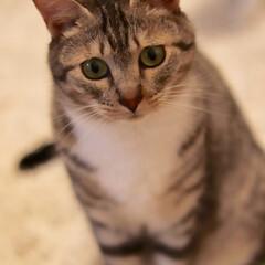 うちの猫/cat/猫バカ/ねこ好き/猫/猫派/... 困り顔の可愛い子ちゃん♡