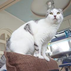 スコティッシュフォールド/ネコ/にゃんこ同好会 ムギ 最近やたらかわいい