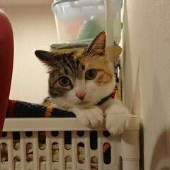 かわいい/癒し/三毛猫/猫/ネコ タオル置き場の頂上で可愛い子ぶりっ子する…