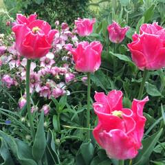 平成最後の一枚/チューリップ/チューリップ畑 ひらひらのチューリップ🌷 ピンク色で色や…