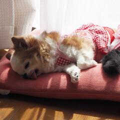 #お昼寝日和/#お日様ぱかぱか/#チワワ/#ちわわ/#癒し/#おやすみショット/... お日様ぽかぽか、お昼寝日和♪