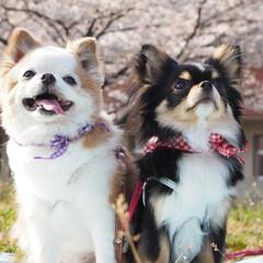 #春/#桜/#春のフォト投稿キャンペーン/#チワワ/#ちわわ/#春のお出かけ/... 今年は、可愛い娘ふたりと桜を見る事が出来…