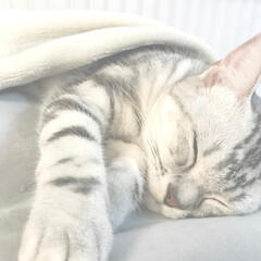 LIMIAペット同好会/ペット/ペット仲間募集/猫/にゃんこ同好会/おやすみショット/... 初投稿です💖 アメリカンショートヘアのヒ…