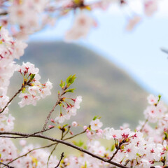 はじめてフォト投稿/香川県/飯山/讃岐富士/桜/桜越しの/... 香川県飯山【讃岐富士】を桜メインで撮影し…