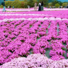楽しい時間/芝桜とネモフィラの丘/花夢の里/芝桜/ネモフィラ/お花/... こちらも満開~(*˘͈ ᵕ˘͈)🌸  特…
