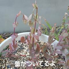 多肉植物 胡蝶の舞はなかなか開かないらしい。 寒い…(2枚目)