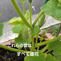 家庭菜園 去年の🎃は花が咲いて終わった。 🎃に雄花…(2枚目)