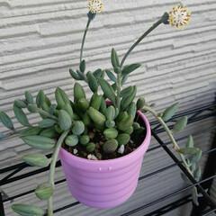 多肉ちゃん アーモンドネックレスの花はタンポポの蕾み…