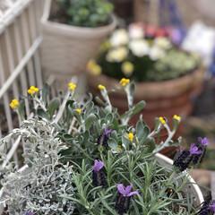 鉢植え/spring/ラベンダー/庭/寄せ植え/花/... 久しぶりに我が家にお花が💐