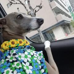 LIMIAペット同好会/手作り犬服 ハンドメイド ワクワク... どこいくのかなっ?ワクワク😃💕