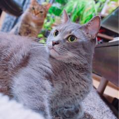 グレー猫/保護猫/令和元年フォト投稿キャンペーン/フォロー大歓迎/LIMIAペット同好会/にゃんこ同好会/... 背中からゆずちゃんが生えてる。