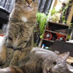 LIMIAペット同好会/兄妹猫/保護猫/キジトラ/グレー猫/うちの子ベストショット 一緒がいいね。