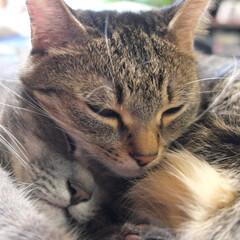 おやすみショット/仲良し兄妹猫/#はじめてフォト投稿 2歳の仲良し兄妹猫です。 いつもくっつい…