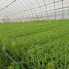 稲作/農家/東北の春/暮らし 🍀もうぐったり🍀  今朝から稲苗の出荷が…