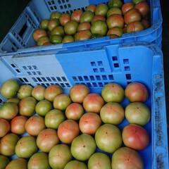 トマト/農家さん/ブランドトマト/GAP/暮らし 🍀南郷トマト🍀  今朝❤️初出荷になりま…